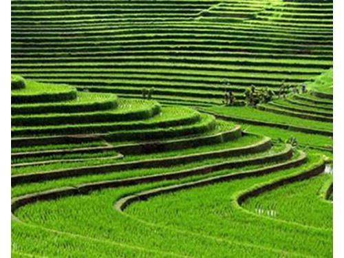 Indonesia, coltivazioni di riso a bali